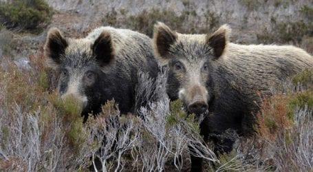 «Μάστιγα» τα αγριογούρουνα για το δήμο Ρήγα Φεραίου