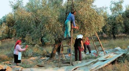 Αποζημίωση των ελαιοπαραγωγών Αλμυρού  λόγω παρατεταμένης ξηρασίας