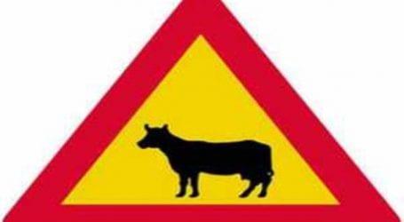 Αμέριμνος Τρικαλινός τράκαρε με αγελάδα