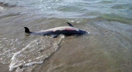 Βρέθηκε νεκρό δελφίνι στα Κάτω Λεχώνια
