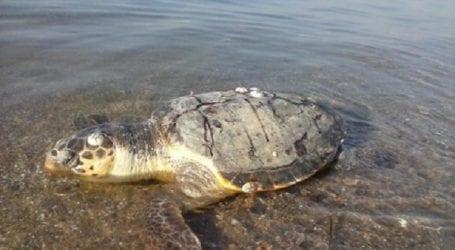 Νεκρή χελώνα καρέτα – καρέτα στη Ν. Αγχίαλο