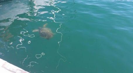 Μία χελώνα στο λιμάνι του Βόλου (εικόνα)