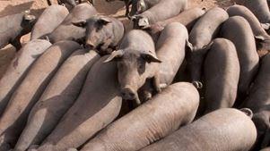 Φόβοι για το περιβάλλον, καθώς οι χοίροι ξεπερνούν τον αριθμό των κατοίκων