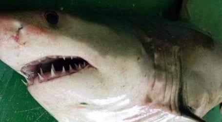 Ψαράδες έπιασαν λευκό καρχαρία της Μεσογείου στο Αιγαίο -Ηταν ζωντανός και τον έριξαν ξανά στη θάλασσα