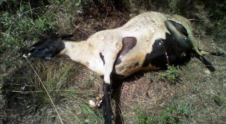 Νέα επίθεση λύκων σε ποιμνιοστάσιο στο Μαυρομμάτι