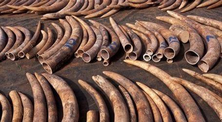 Απαγόρευση του εμπορίου ελεφαντόδοντου ζητούν οι γερουσιαστές στην Αυστραλία