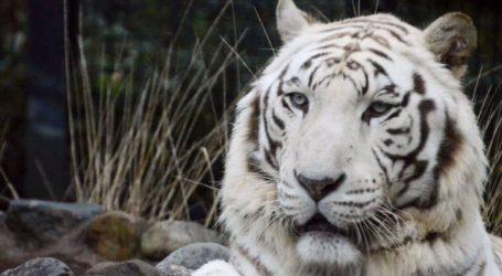 Σπάνια λευκή τίγρης κατασπάραξε φύλακα ζωολογικού κήπου