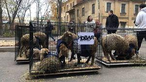 Κλουβιά με πρόβατα άφησαν άγνωστοι έξω από τα γραφεία της εφημερίδας Novaya Gazeta