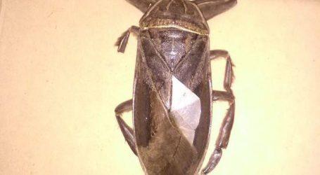 Τι ήταν το σαρκοφάγο έντομο που βρέθηκε στη Λαμία