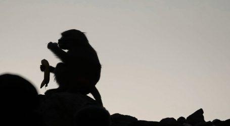 Μαϊμού άρπαξε βρέφος την ώρα του θηλασμού και το τραυμάτισε θανάσιμα
