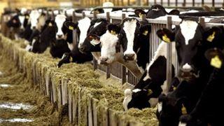 Ψηφίζουν για αγελάδες με κέρατα ή χωρίς