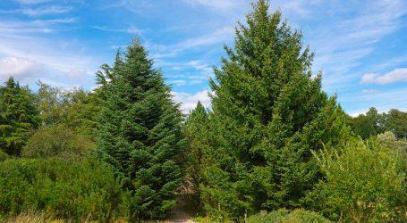 Πόσα δέντρα θα κοπούν για τα φετινά Χριστούγεννα