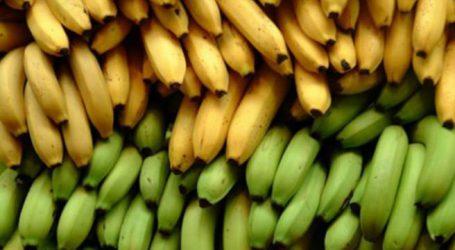 Δεσμεύτηκε μισός τόνος μπανάνες στον Πειραιά