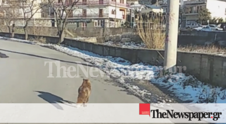 Απίστευτο! Αλεπού έκανε βόλτες σε γειτονιές του Βόλου [εικόνες]