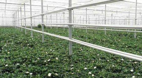 Στην Ελλάδα η δεύτερη μεγαλύτερη παραγωγή γαρδένιας στην Ευρώπη