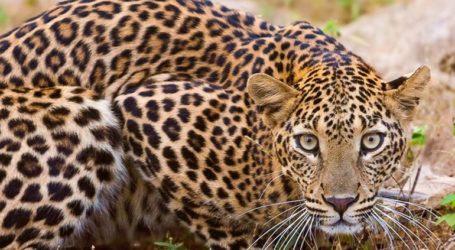 Με drones και ελέφαντες αναζητούν λεοπάρδαλη που δραπέτευσε από πάρκο
