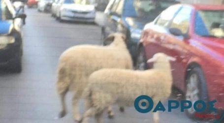 Πρόβατα κάνουν βόλτα στο κέντρο της Καλαμάτας