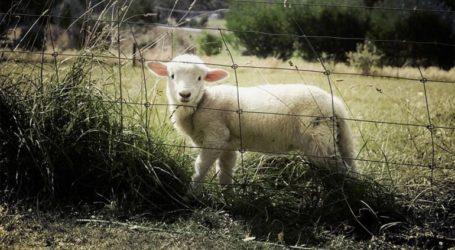 Στο «σκαμνί» ο κτηνοτρόφος που έσφαξε αρνί στη στάνη του και τιμωρήθηκε με πρόστιμο 30.000 ευρώ