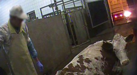 Οι αρχές διέταξαν τη διεξαγωγή ελέγχων στα σφαγεία μετά τις τηλεοπτικές εικόνες με τις άρρωστες αγελάδες