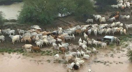 Εκατοντάδες χιλιάδες βοοειδή νεκρά από τις πλημμύρες