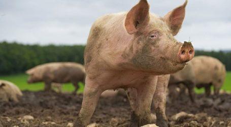Κτηνοτρόφος λιποθύμησε και την έφαγαν ζωντανή τα γουρούνια της