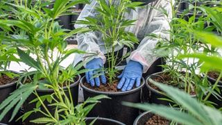 Τριάντα οι επενδυτικές προτάσεις για βιομηχανική και φαρμακευτική κάνναβη