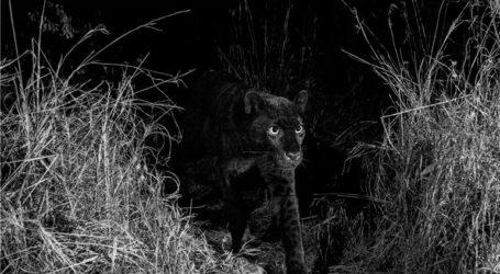 Για πρώτη φορά μετά από 100 χρόνια φωτογράφος απαθανάτισε μαύρη λεοπάρδαλη στην Αφρική