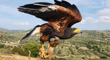Οι γητευτές των Harris Hawk στην Ελλάδα