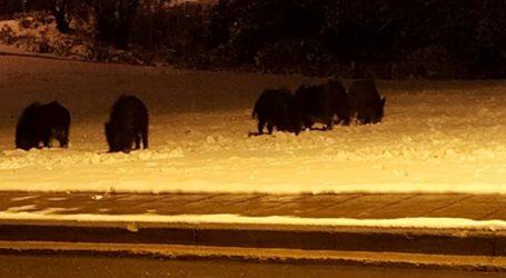Κοπάδι αγριογούρουνων βγήκε νυχτερινή βόλτα στο χιονισμένο Πανόραμα