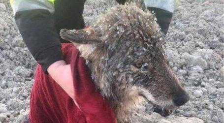 Έσωσαν λύκο πιστεύοντας ότι είναι σκύλος