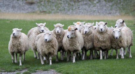 Βγάζουν σε ηλεκτρονικό πλειστηριασμό 200 πρόβατα
