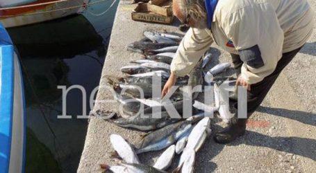 Επίθεση 50 μεγάλων λαγοκέφαλων κατασπάραξε την ψαριά στην Ιεράπετρα