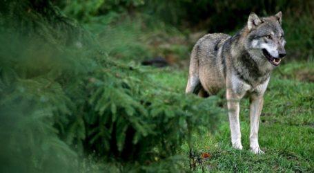 Λύκοι έφτασαν μέχρι τα Κανάλια και το Βελεστίνο [εικόνα]