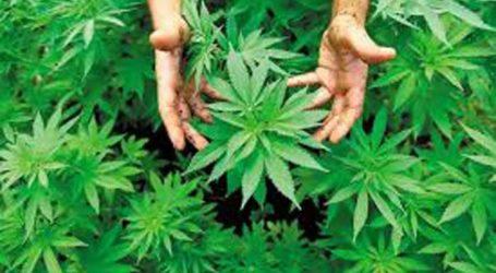Ημερίδα στη Λάρισα για τη βιομηχανική κάνναβη, τη νέα δυναμική καλλιέργεια