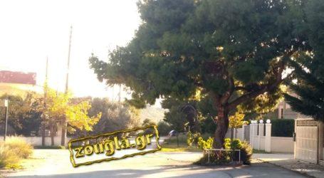 Δέντρο στη μέση του δρόμου εδώ και χρόνια!