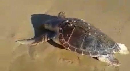 Μία ακόμα νεκρή χελώνα σε παραλία της Κρήτης