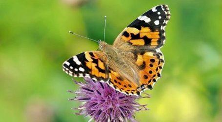 Εκατομμύρια πεταλούδες κατέκλυσαν την Κύπρο