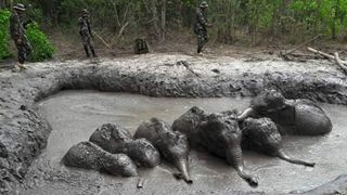 Δασοφύλακες διέσωσαν έξι ελεφαντάκια που είχαν εγκλωβιστεί σε λάκκο με λάσπη