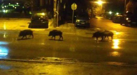 ΤΩΡΑ: Αγριογούρουνα κάνουν… βόλτα στην λεωφόρο Αθηνών!