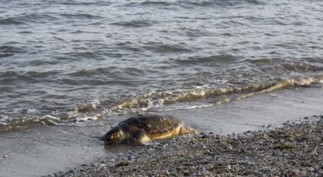 Νεκρή θαλάσσια χελώνα στο Πήλιο