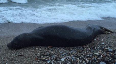 Νεκρή φώκια και χελώνα εντοπίστηκαν στη Σκιάθο