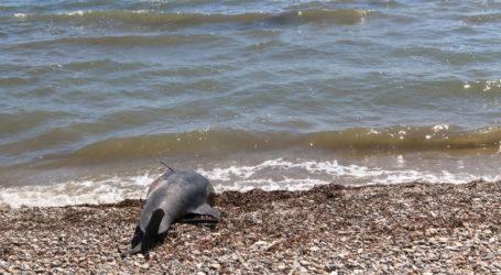 Νεκρό δελφίνι σε παραλία της Μαγνησίας