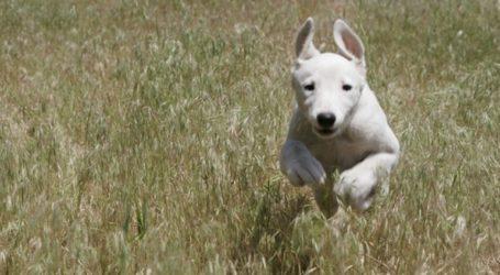 Γκρεϊχάουντ: Η ταχύτερη ράτσα σκύλων