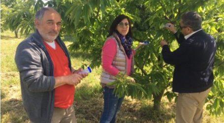 Ο Δήμος Τεμπών για τις διεργασίες αντιμετώπισης της σφήκας της καστανιάς