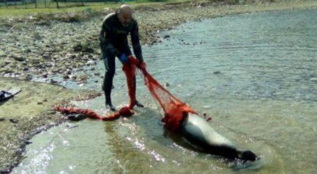 Φώκια μπλέχτηκε στα δίχτυα αλιευτικού στην Σκόπελο