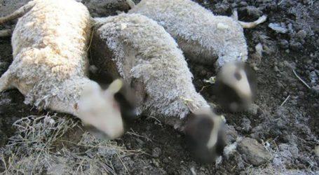 Ολόκληρο κοπάδι από πρόβατα βρέθηκαν νεκρά σε χωριό του Αγίου Κωνσταντίνου
