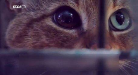 Γαλλία: H μυθική γάτα – αλεπού βρέθηκε στην Κορσική