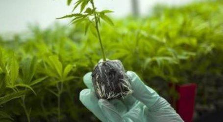 Εγκρίθηκαν τρεις νέες άδειες καλλιέργειας φαρμακευτικής κάνναβης