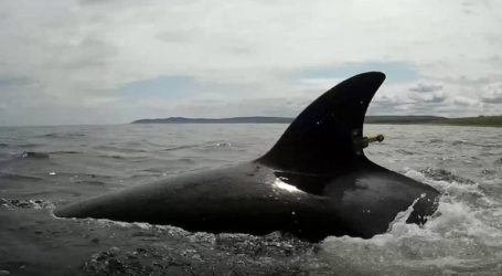 Οι όρκες και οι φάλαινες μπελούγκα που απελευθερώθηκαν διάνυσαν ήδη 140 χιλιόμετρα