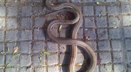 ΤΩΡΑ: Φίδι έκανε… βόλτες σε κεντρικό δρόμο του Βόλου [εικόνα]